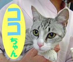 6月のお友達 恵那市武並町 *ココちゃん*      動物病院 避妊手術